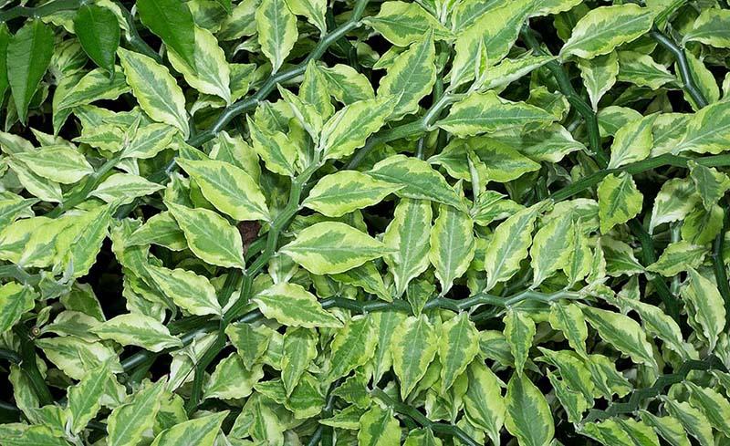 شرایط نگهداری از گیاه پدیلانتوس