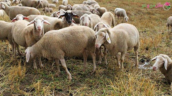 کود گوسفندی
