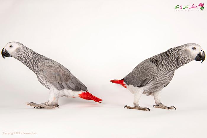 طوطی های خاکستری آفریقایی