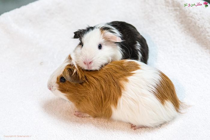 بازیگوشی خوکچه هندی
