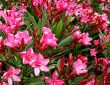 خرزهره ، گل زیبایی که باعث ایست قلبی می شود!