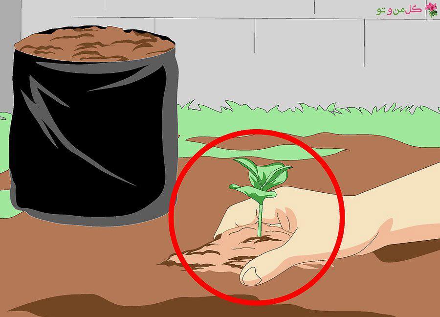 کاشت قهوه در گلدان - انتقال نشاء قهوه