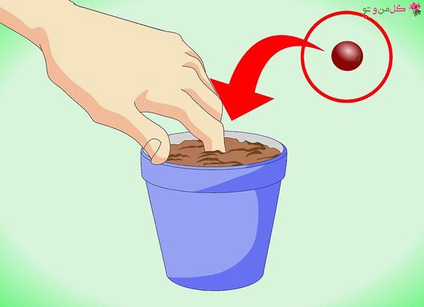کشت قهوه - کاشت بذر قهوه