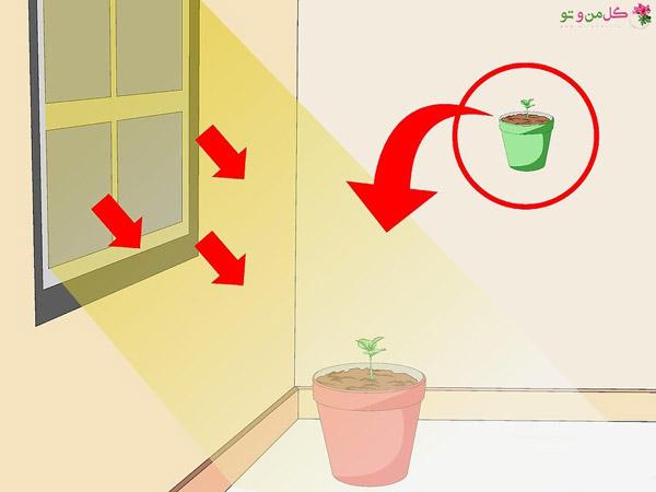 کاشت قهوه در گلدان - انتقال به محل نور گیر