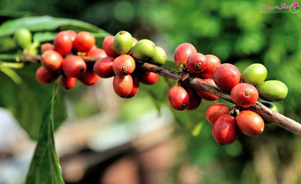 نگهداری درخت قهوه در مزرعه