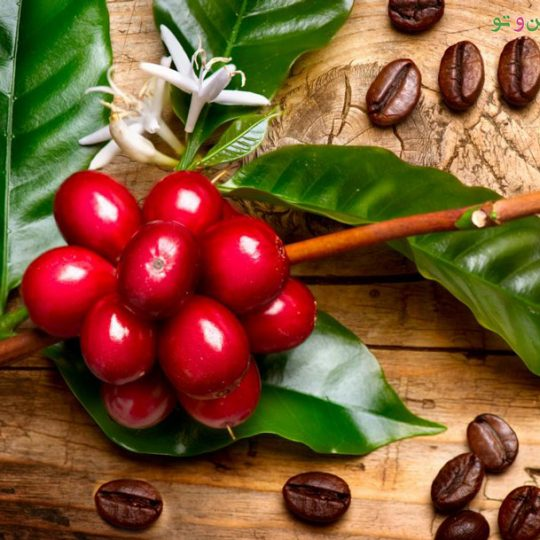 کاشت قهوه در منزل