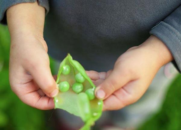 کاشت نخود فرنگی باغبانان کوچک
