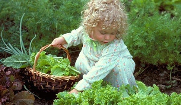 کاشت کاهو باغبانان کوچک
