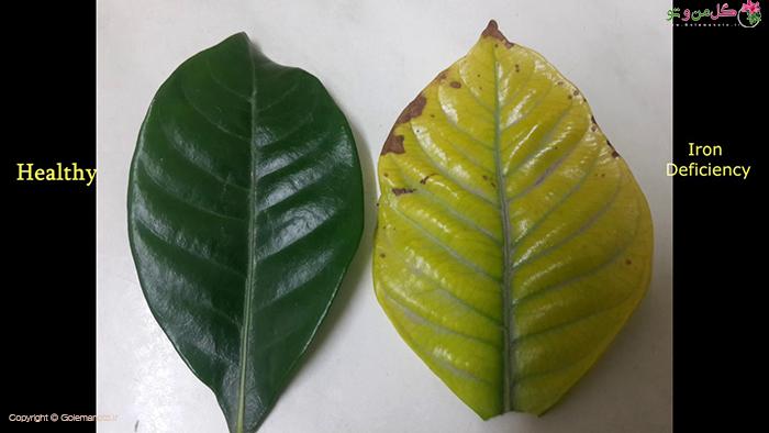 علائم کمبود آهن در گیاه