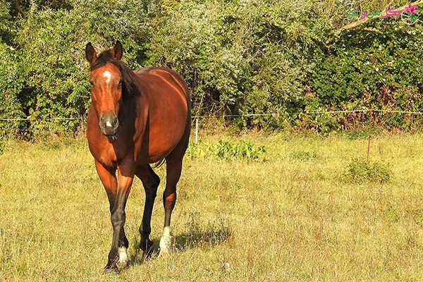 کود اسبی