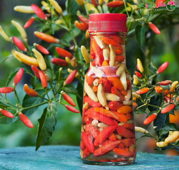 انتخاب فلفل - تاباسکو Tabasco pepper