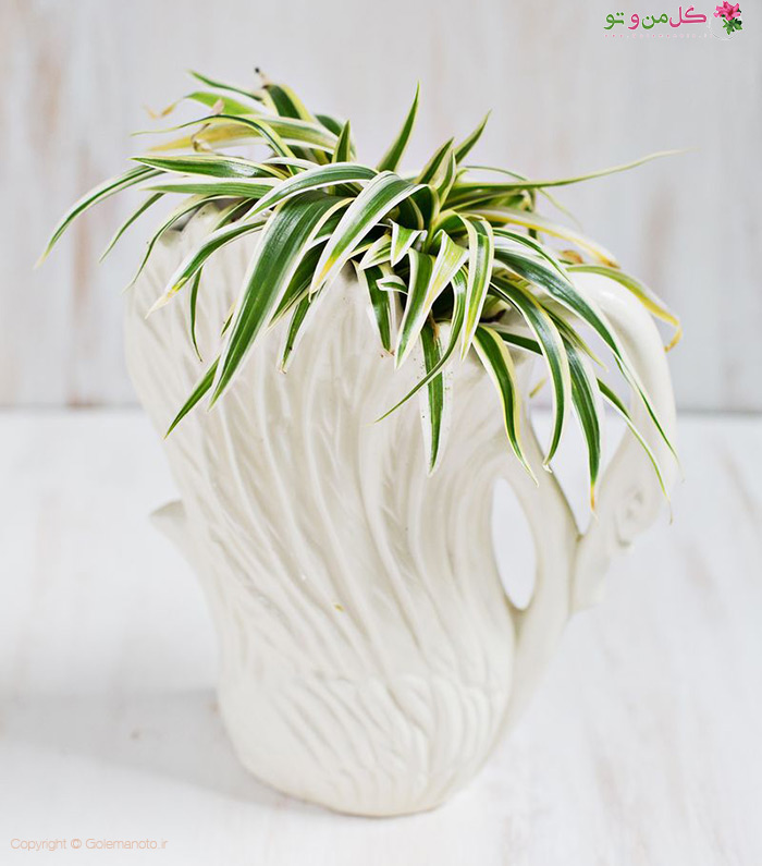 گل گندمی یا همون گیاه عنکبوتی