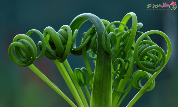 گیاه آلبوکا ، کاکتوسی بی نظیر