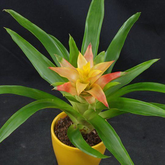 گل گازمانیا - گیاه گازمانیا