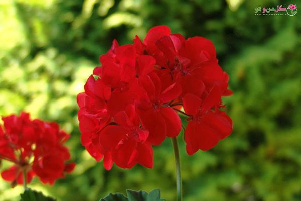 نیازها و نگهداری گل شمعدانی