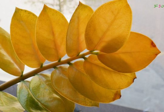 دلایل زرد شدن برگ های گیاهان