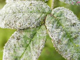 بیماری کپک خاکستری و از بین بردن آن