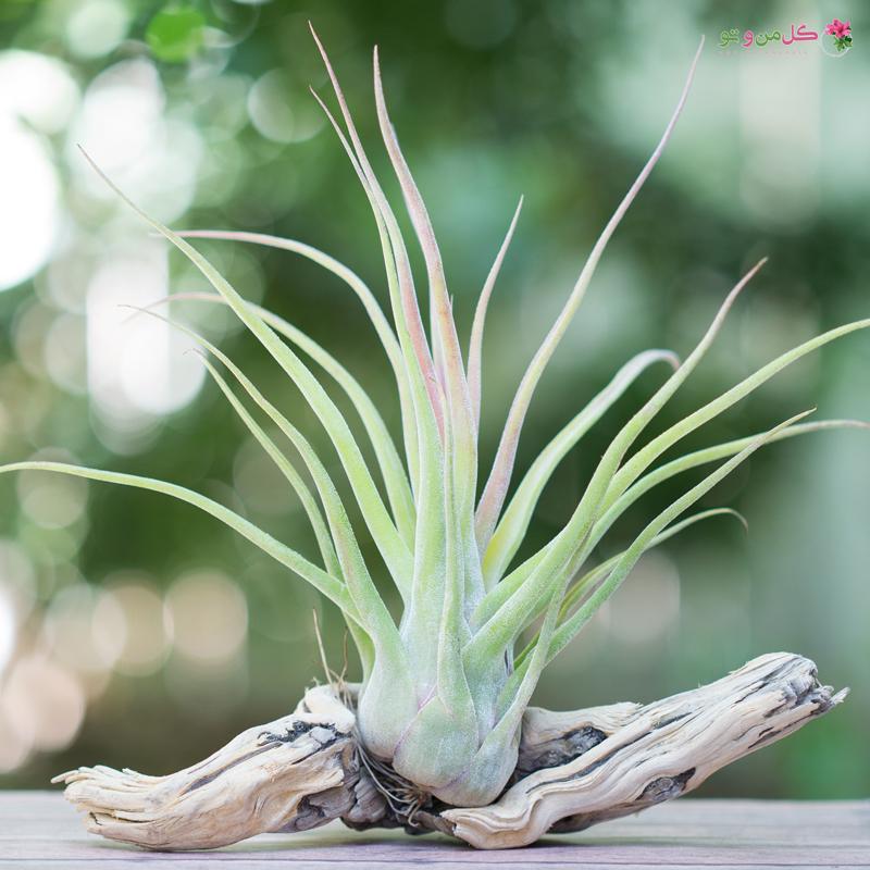 تیلاندسیا ، گیاه هوازی + تصاویر زیبای تیلاندسیا