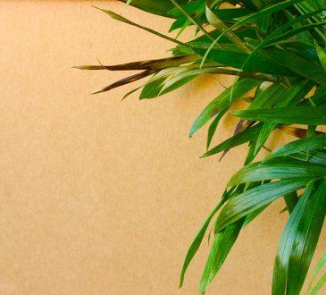 علت قهوه ای شدن نوک برگ گیاهان آپارتمانی