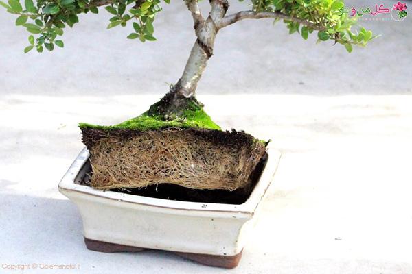 هنگام آبیاری این درخت، همه آب بدون اینکه جذب ریشه بشه خارج حواهد شد. یا باید تقسیم ریشه انجام شود و یا باید گلدان تعویض گردد.