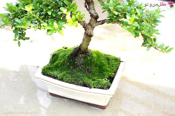 در آبیاری بونسای مطمئن شوید ریشه کاملا مرطوب شده است