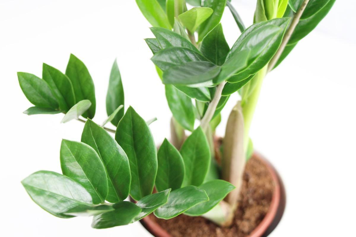 zamiifolia - زاموفیلیا