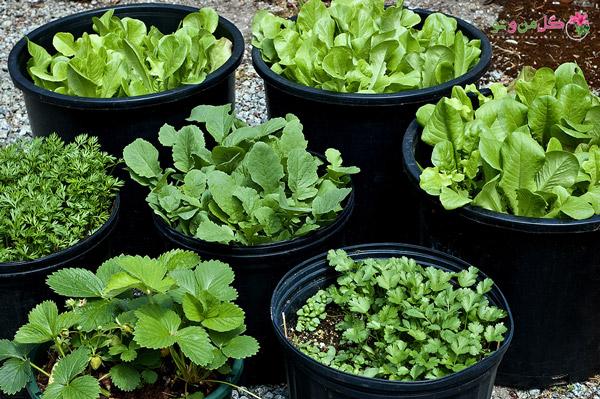 کاشت سبزیجات در خانه - سبزیجات معطر