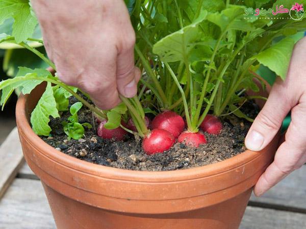کاشت سبزیجات در خانه - سبزیجات سالادی