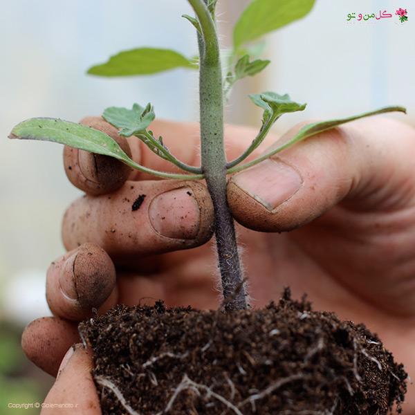 زمان مناسب کاشت نهال در گلدان