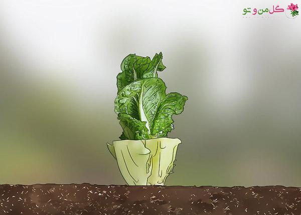 برداشت کامل کاهو رومی - رشد دوباره کاهو