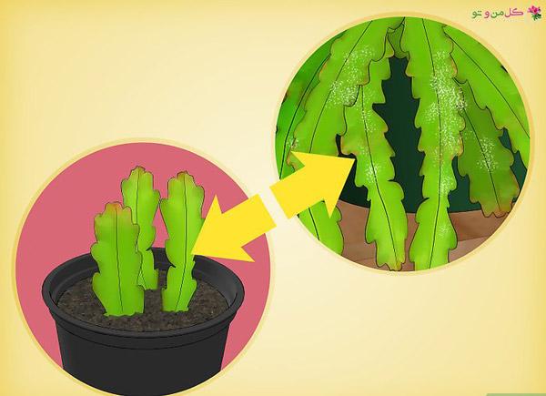 آفات اپیفیلوم - قرنطینه کردن گیاه جدید