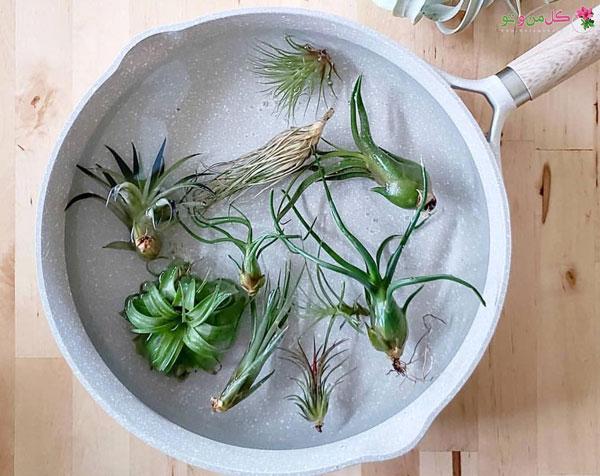 خشکی گیاهان هوازی
