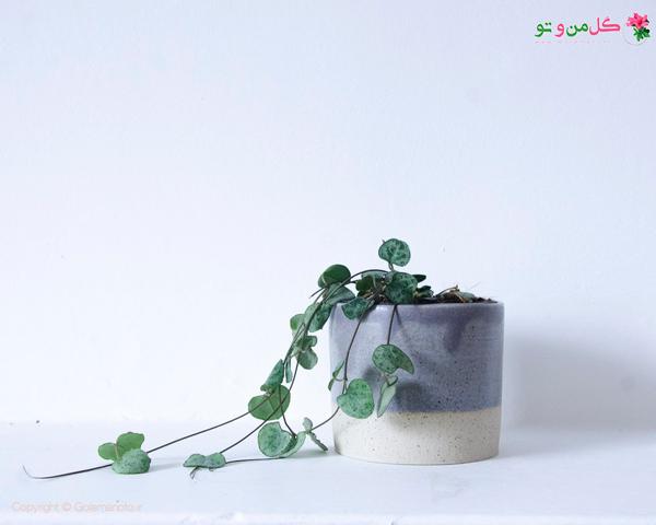 سروپژیا گیاه آویز