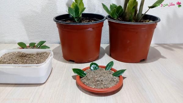قرار دادن در خاک و ریشه دار کردن