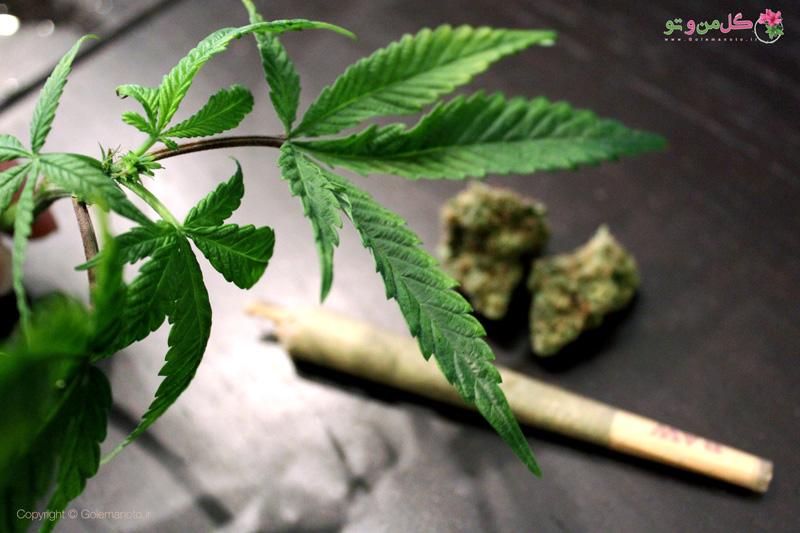آخرین تحقیقات در خصوص ماریجوانا