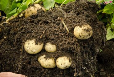 نحوه کاشت سیب زمینی در گلدان