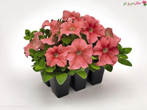 تکثیر گل اطلسی
