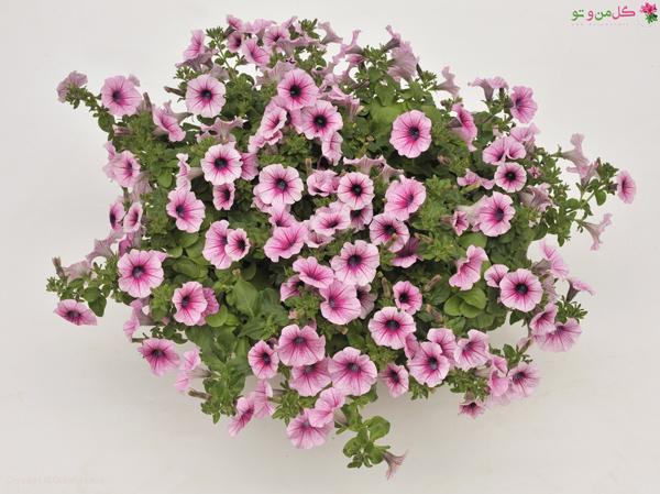 نگهداری گل اطلسی