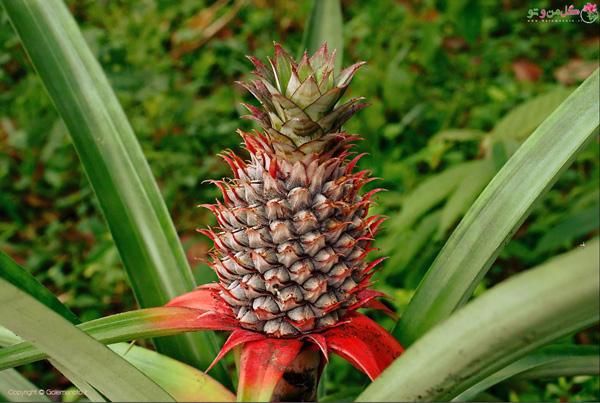 خواص میوه آناناس