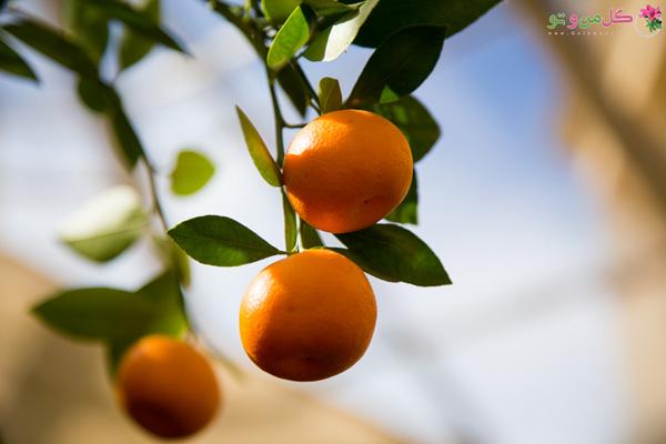 پرتقال زینتی