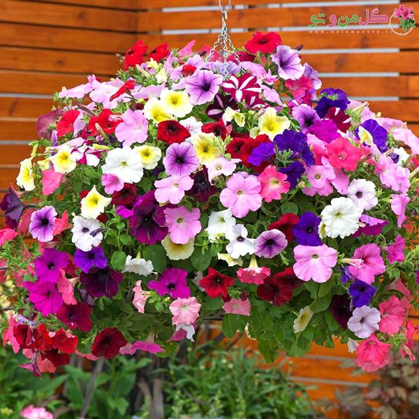 گل اطلسی و نحوه کاشت آن