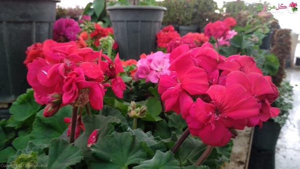 علت گل ندادن شمعدانی