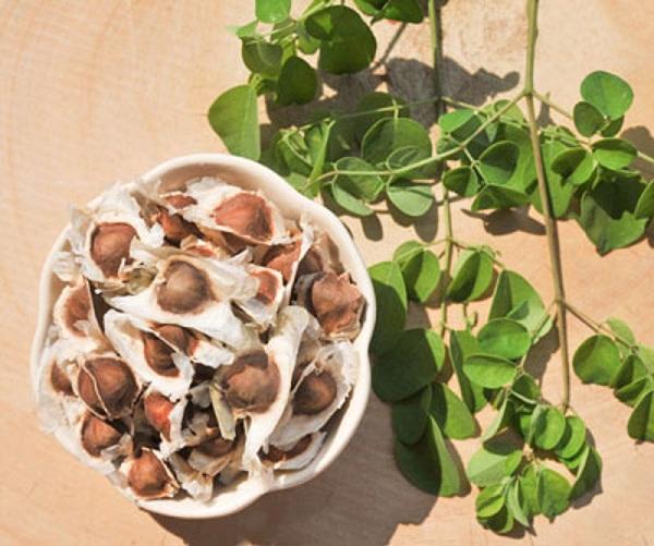 گیاه مورینگا