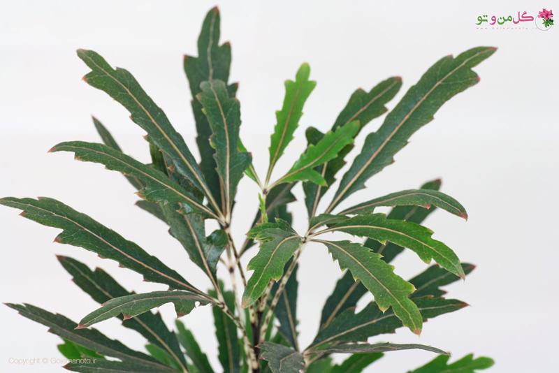 Schefflera elegantissima معرفی و نگهداری آرالیای دروغی گیاهی متفاوت