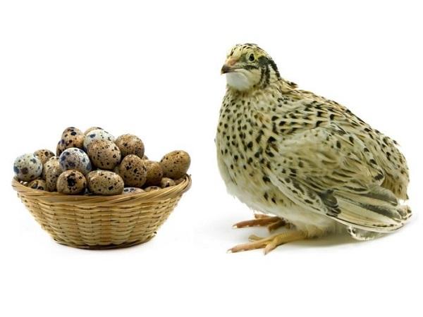 خواص تخم بلدرچین برای بدن