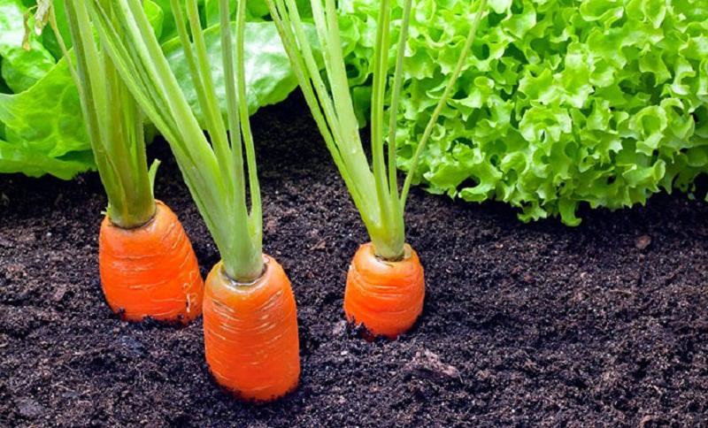 خواص هویج برای سلامتی بدن: