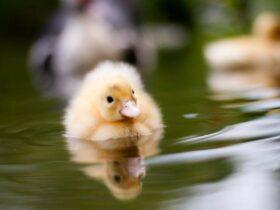خواص تخم اردک برای سلامتی بدن
