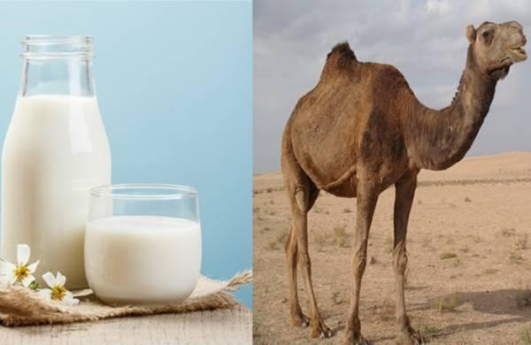 خواص شیر شتر برای سلامتی بدن:
