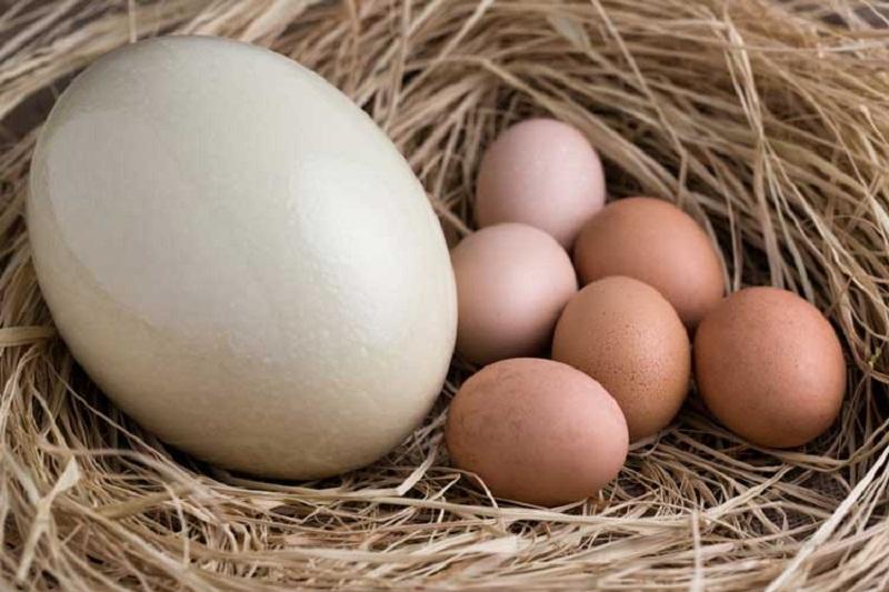 خواص تخم شترمرغ: