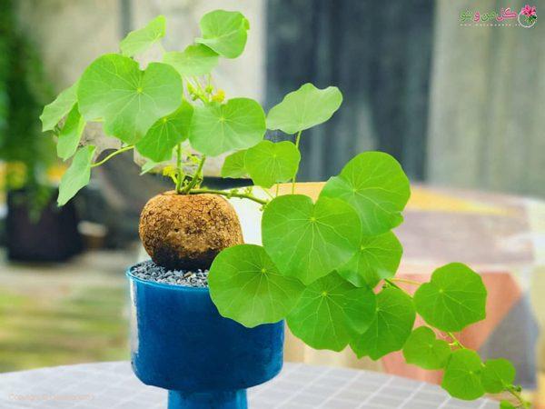 گیاه استفانی